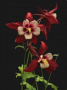 Columbine Prints - Red and White Print by Robert Pilkington
