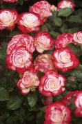 Subtle Prints - Red and White Roses Print by Allan Seiden - Printscapes