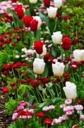 White Daisies Photos - Red and White Tulips with Red and Pink English Daisies in Spring by Louise Heusinkveld