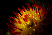 The Flower Photographer - Red and Yellow Dahlia by Glenn Franco Simmons