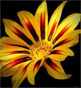 Mikki Cucuzzo Metal Prints - Red and Yellow flower Metal Print by Mikki Cucuzzo