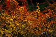 Fall Leaves Photos - Red and Yellow by Robert Ullmann