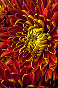 Red Bouquet Prints - Red and yellow spider mum Print by Garry Gay