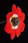 Anemones Posters - Red Anemone Poster by Richard Garvey-Williams