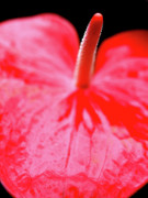 Phallic Posters - Red Anthurium Flamingo Flower . 7D5661 Poster by Wingsdomain Art and Photography