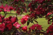 Blossom Prints - Red Apple Blossoms Print by Scott Hovind