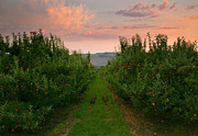 Yakima Valley Photo Prints - Red Apple Sunset Print by Mike  Dawson