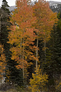 Colorado Mountains Photos - Red Aspens by Timothy Johnson