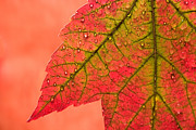 Red Leaf Prints - Red Autumn Print by Carol Leigh