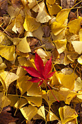 Red Maple Leaves Prints - Red Autumn Leaf Print by Garry Gay