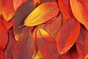 Turning Leaves Prints - Red autumn leaves pile Print by Simon Bratt Photography