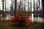 Azaleas Posters - Red Azaleas in the Swamp Poster by Susanne Van Hulst