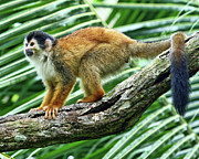 Squirrel Monkey Prints - Red-backed Squirrel Monkey Print by Larry Linton