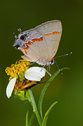 Framedart Prints - Red Banded Hairstreak Print by Scott Helfrich