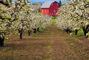 Blossoms Photos - Red Barn Avenue by Mike  Dawson