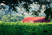 Grapevines Framed Prints - Red Barn In Vineyard Framed Print by Dina Calvarese