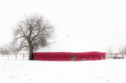Tamyra Ayles Photo Posters - Red Barn in Winter Poster by Tamyra Ayles