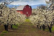 Orchard Framed Prints - Red Barn Spring Framed Print by Mike  Dawson
