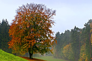 Herbstlaub Photos - Red Beech at Hole 4 by Phobeke Photographie Bernd Keller