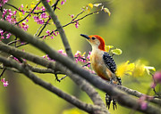 Woodpecker Digital Art Posters - Red Bellied in Tree Poster by Bill Tiepelman