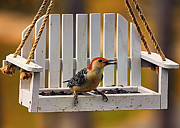 Bird On Tree Metal Prints - Red Bellied on Swing - 5 Metal Print by Bill Tiepelman