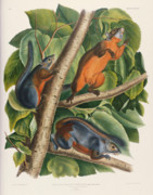 Red Leaf Paintings - Red Bellied Squirrel  by John James Audubon