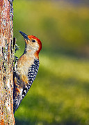 Bird On Tree Prints - Red-Bellied Tree Pecker Print by Bill Tiepelman