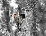 Selective Color Framed Prints - Red-bellied Woodpecker - Selective Color Framed Print by Al Powell Photography USA