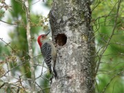 Woodpeckers Posters - Red-bellied Woodpecker 01 Poster by Al Powell Photography USA
