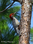 Florida Nature Photography Originals - Red-bellied Woodpecker by Barbara Bowen