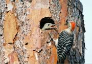 Feeding Pyrography - Red-bellied Woodpecker Feeding Young by Richard Nickson