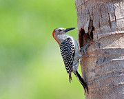 National Photo Framed Prints - Red-bellied Woodpecker Framed Print by Guillermo Armenteros, Dominican Republic.