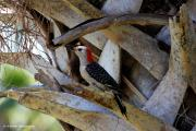 Watcher Originals - Red-Bellied Woodpecker hides on a Cabbage Palm by Barbara Bowen