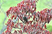 Feeding Photos - Red Bellied Woodpecker in Dogwood by Alan Lenk