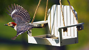 Bird-feeder Prints - Red-Bellied Woodpecker in Flight Print by Bill Tiepelman