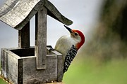 Larry Bird Metal Prints - Red Bellied Woodpecker Metal Print by L Granville Laird