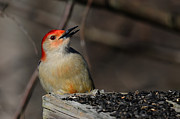 Woodpeckers Photos - Red-Bellied Woodpecker by Lois Bryan