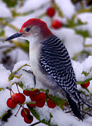 Winter Prints - Red Bellied Woodpecker Print by Ron Jones