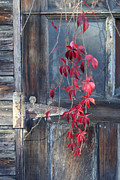 Red Leaves Pastels Acrylic Prints - Red Acrylic Print by Bernadette Kazmarski