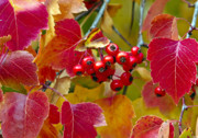 Leaves Photographs Posters - Red Berries Fall Colors Poster by James Steele