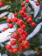 Snow Art Mixed Media - Red Berries in First Snow - Seasonal Outdoors Wildflower by Photography Moments - Sandi