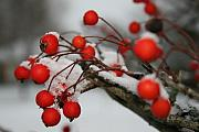 Susie Dezarn Prints - Red Berries Print by Susie DeZarn