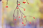Forest Light Photos - Red Berrries by Jenny Rainbow