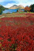 Jordan Photos - Red Berry Bushes at Jordan Pond by George Oze