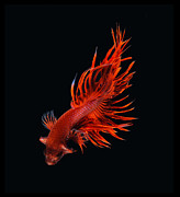 Aquatic Framed Prints - Red Betta Fish Framed Print by Visarute Angkatavanich