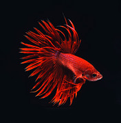 Betta Framed Prints - Red Betta Framed Print by Visarute Angkatavanich