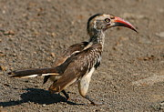 Hornbill Photos - Red-billed Hornbill by Bruce J Robinson