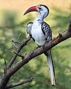 Kenya Photos - Red-billed Hornbill by Tony Beck