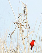 Cardinal Pyrography Prints - Red Bird in Canes Print by William Gilroy