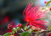Tendrils Photos - Red Bottle Brush by Sarah Broadmeadow-Thomas